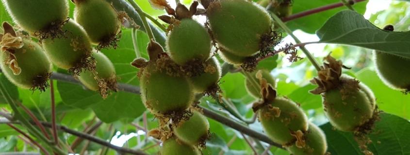Biologische fruitteelt