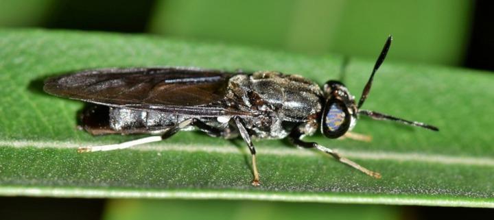 Insectenteelt